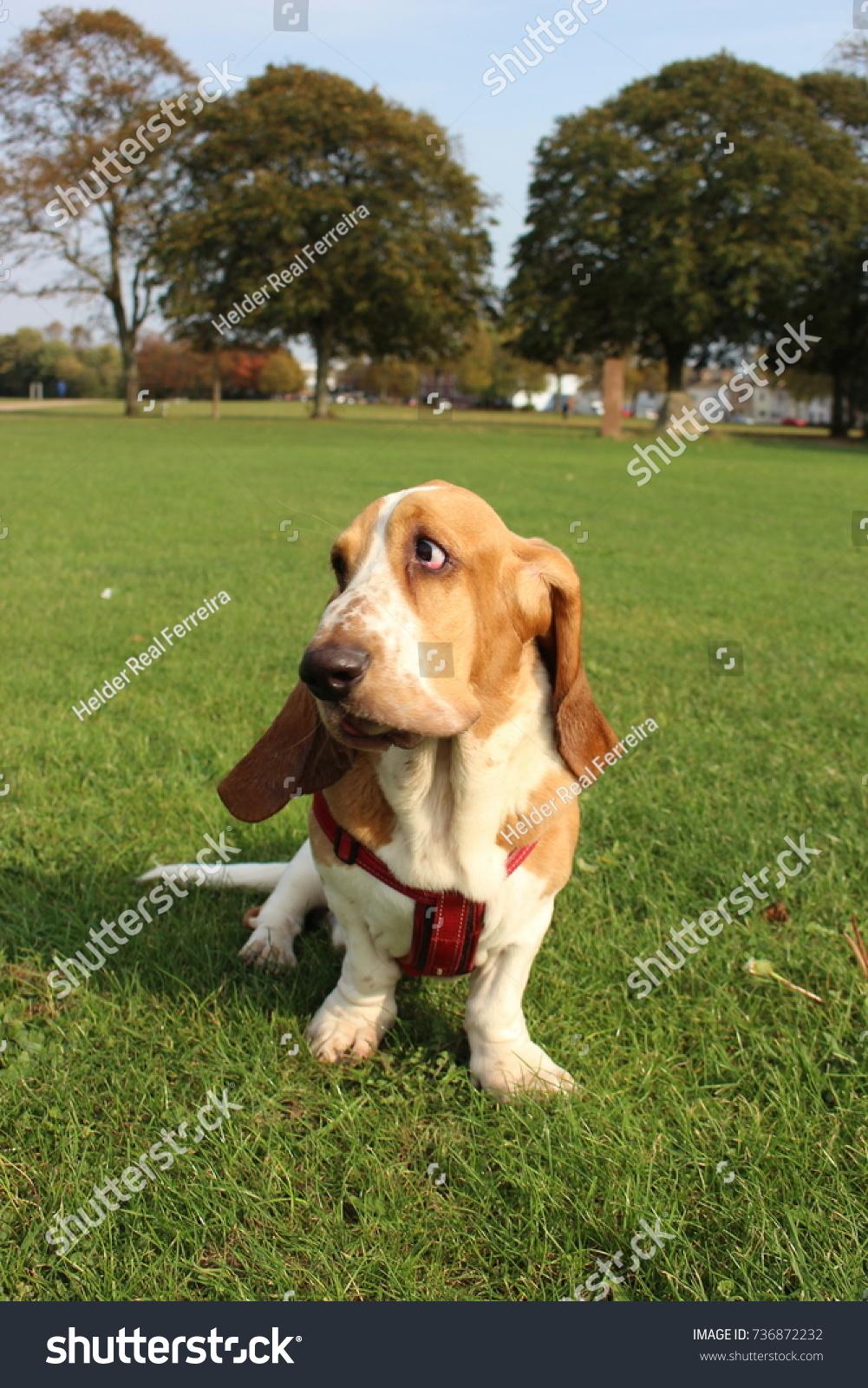 Funny Basset Hound Dog On Grass Stock Photo Edit Now 736872232
