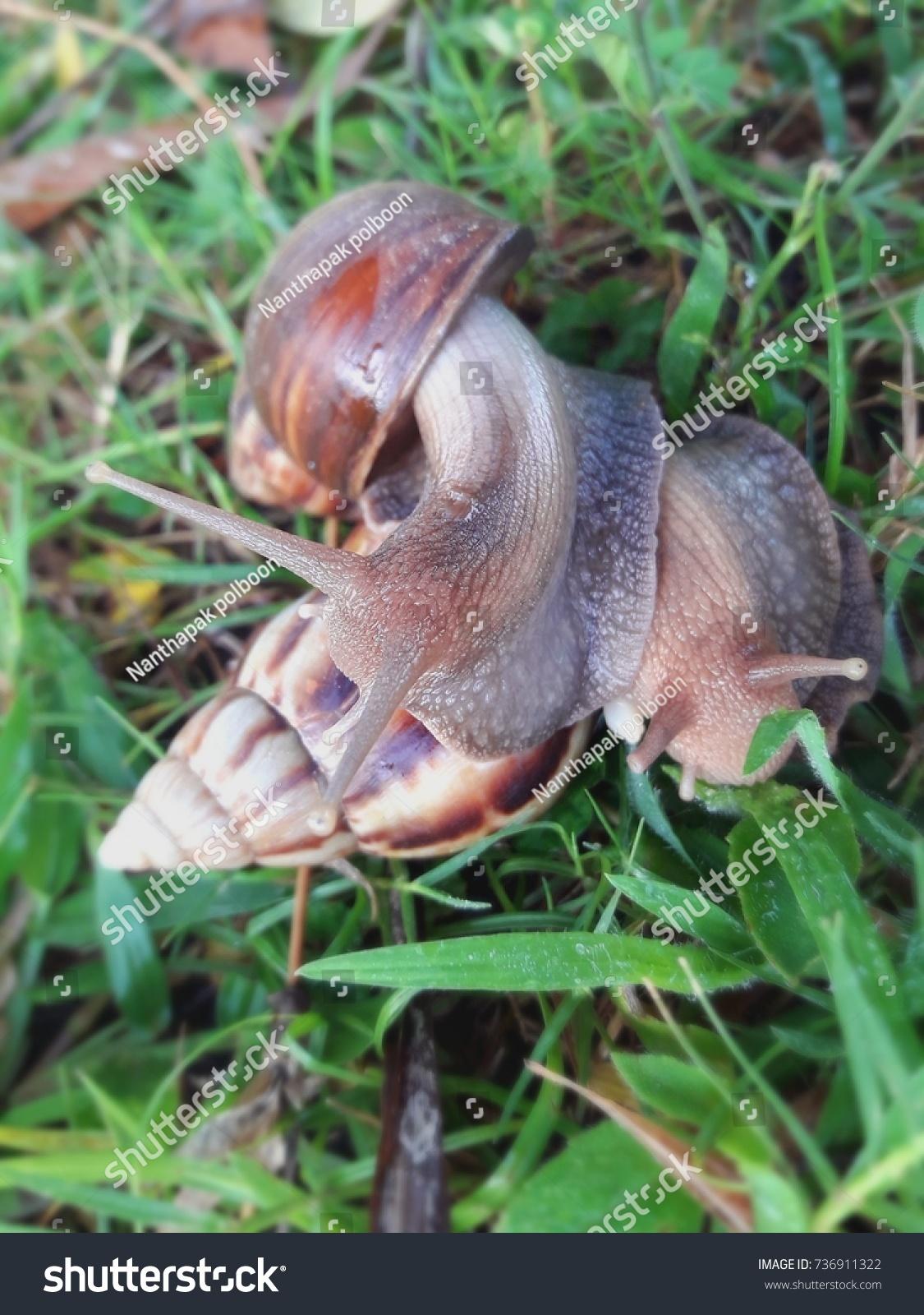 Snails are having sex in garden Thailand