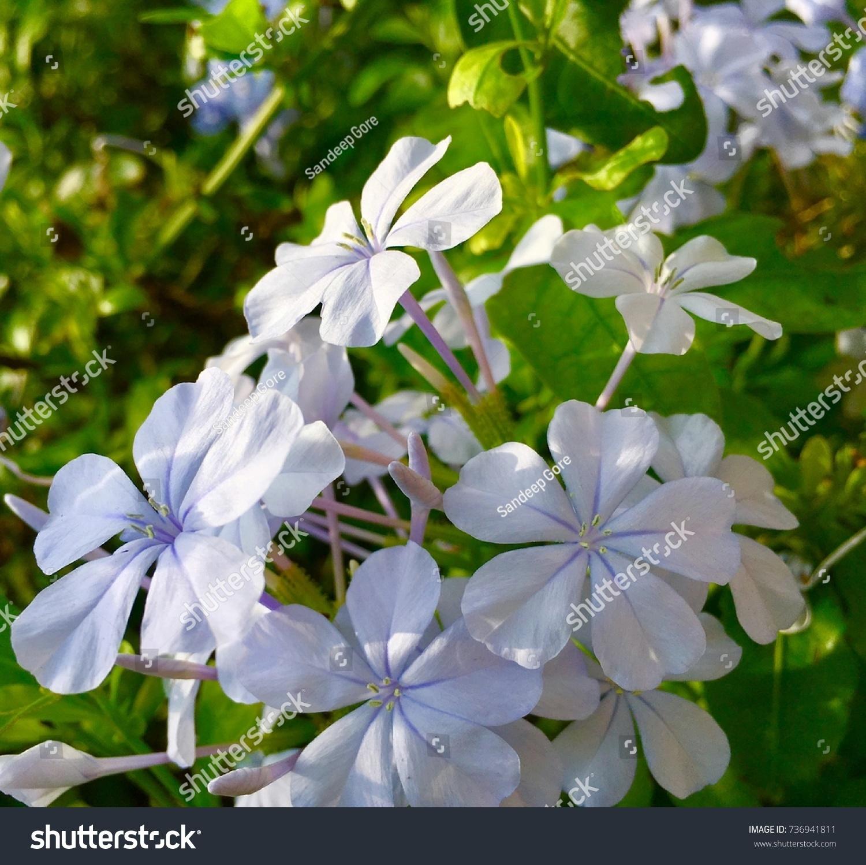 Beautiful Tiny Bunch White Flowers Stock Photo Edit Now 736941811