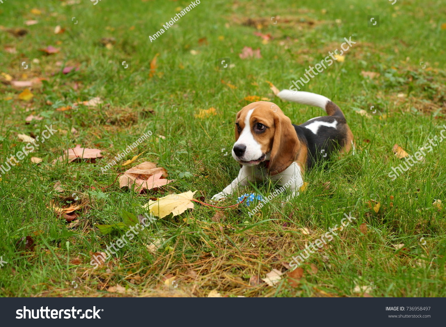 Fantastic Toy Beagle Adorable Dog - stock-photo-adorable-beagle-dog-with-big-kind-sad-eyes-sweet-puppy-with-long-cute-ears-lie-in-grass-and-autumn-736958497  Image_703312  .jpg