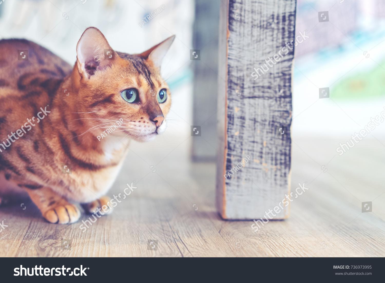 Orangebrown Bengal Cat Crouching Under Table Stock Photo Edit Now