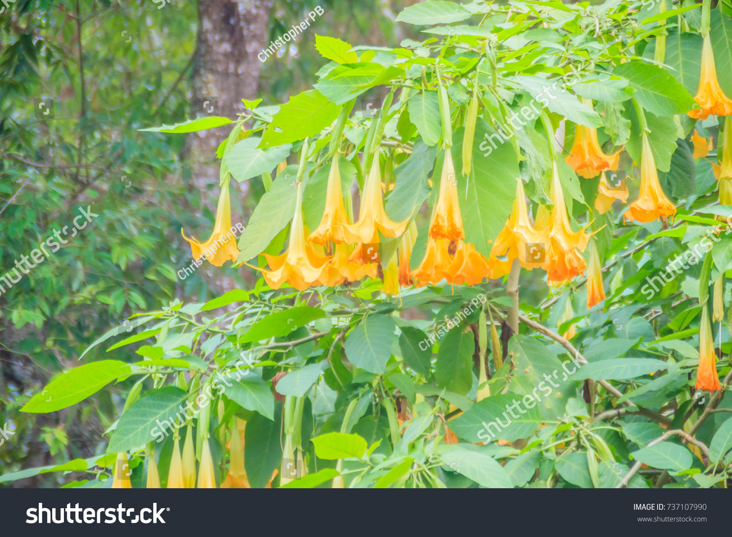 Yellow angels trumpet flowers brugmansia suaveolens stock photo yellow angels trumpet flowers brugmansia suaveolens stock photo royalty free 737107990 shutterstock mightylinksfo