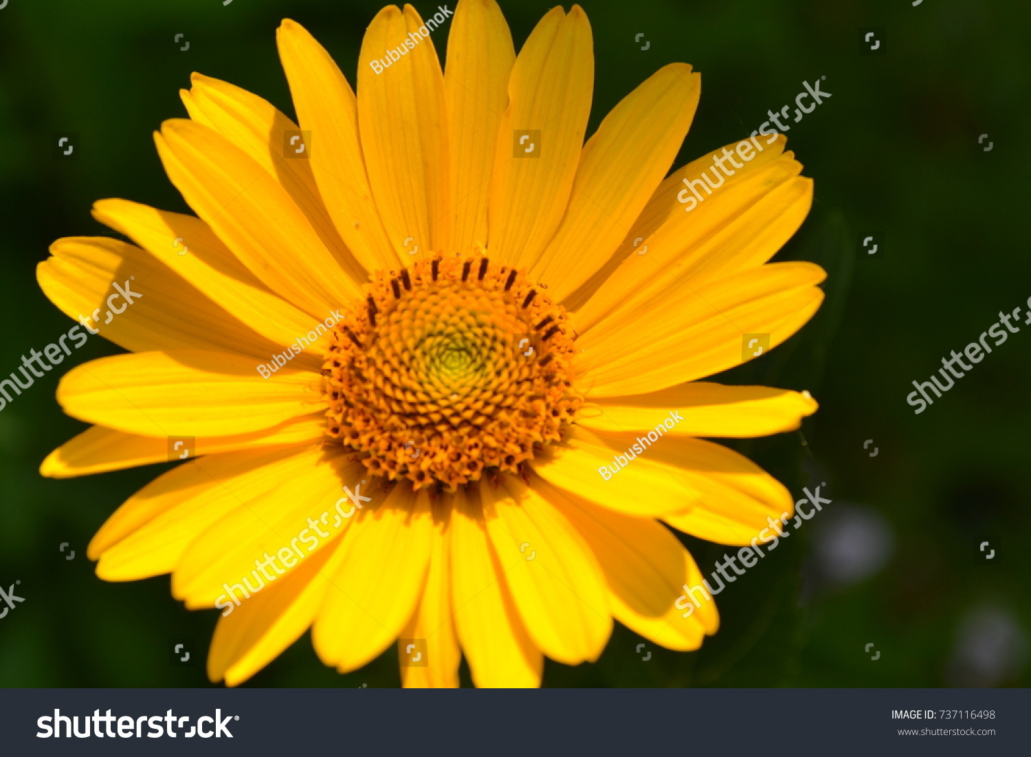 Heliopsis helianthoides perennial similar daisy tall stock photo heliopsis helianthoides perennial similar daisy tall stock photo royalty free 737116498 shutterstock izmirmasajfo