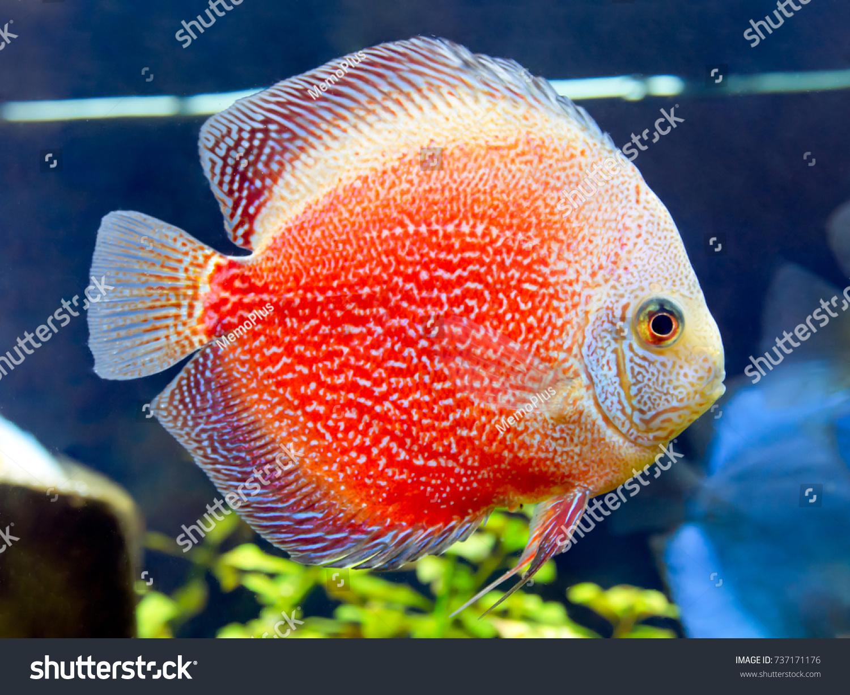 Discus Fish Pompadour Red Symphysodon Discus Stock Photo (Download ...