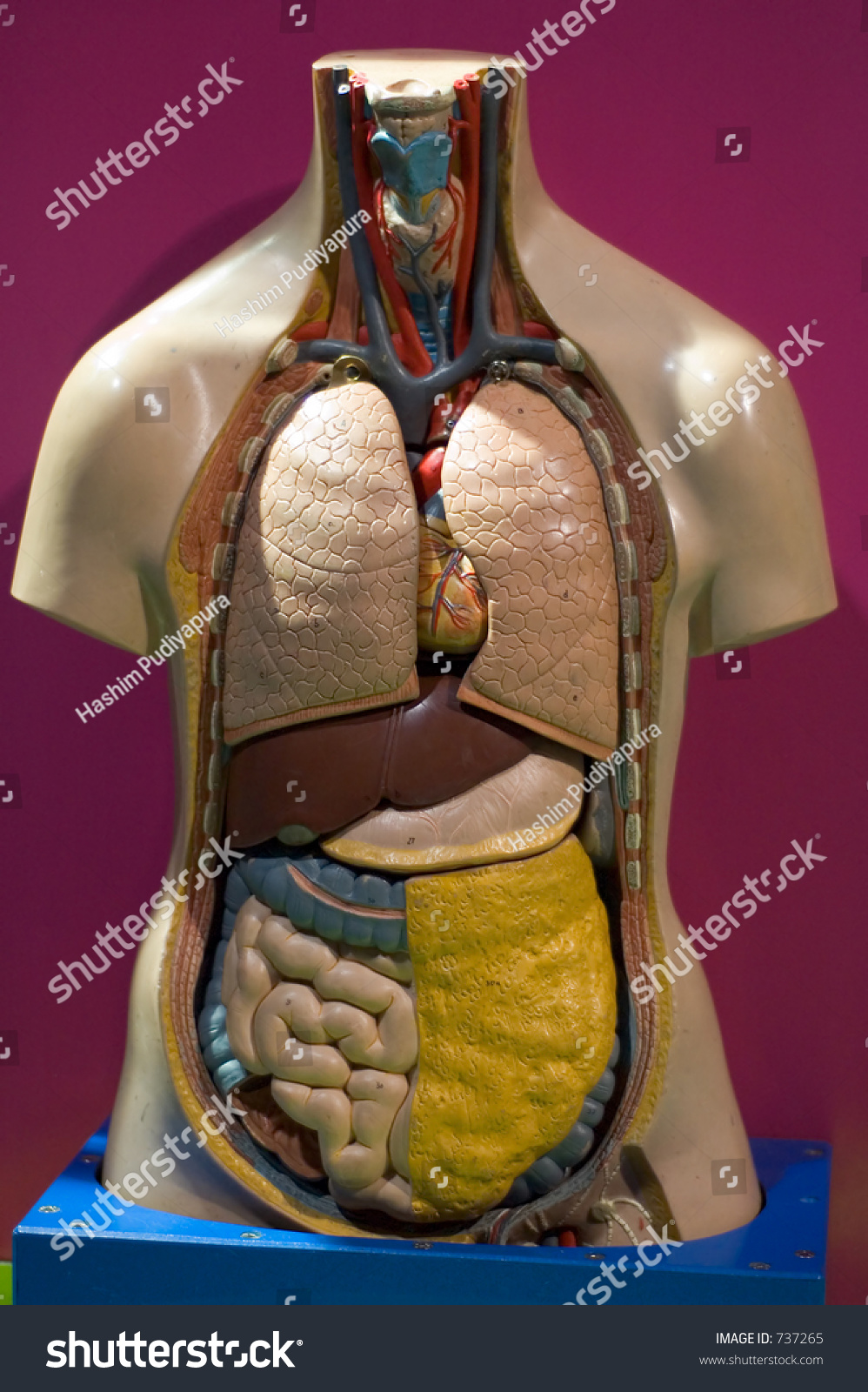 Model Human Body Showing Internal Organs Stock Photo Edit Now