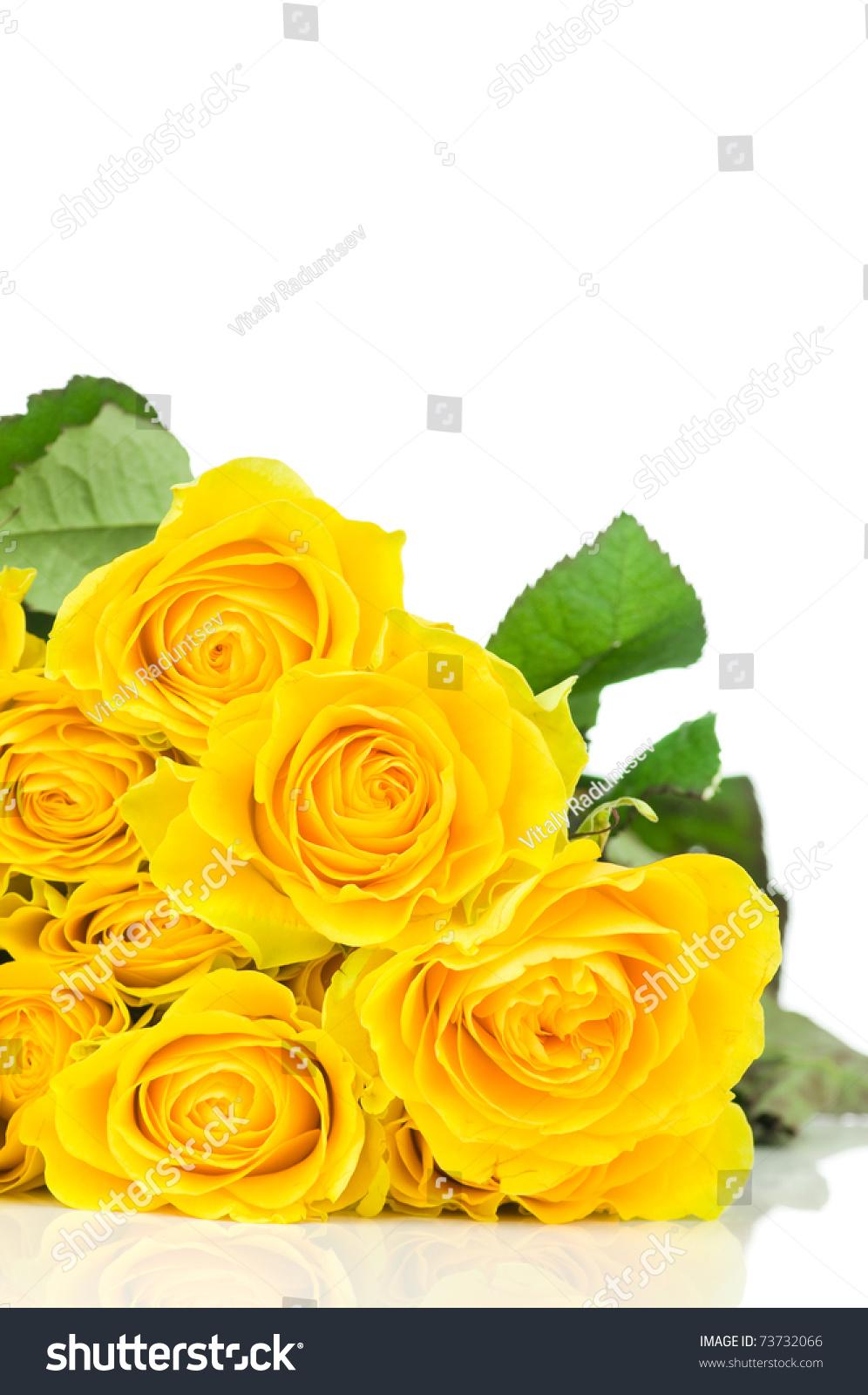 yellow roses isolated on white background stock photo