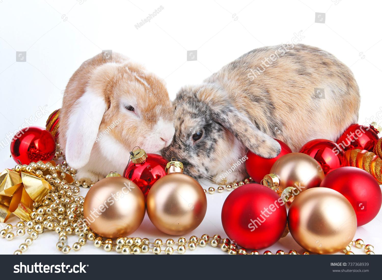 Christmas Animals Christmas Pets Cute Lop Stock Photo Edit