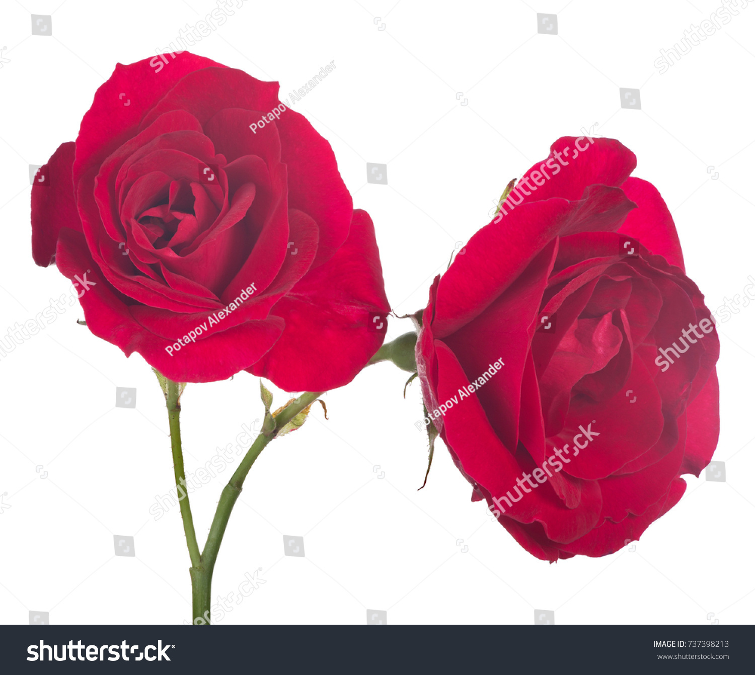 Beautiful Red Color Rose Isolated On Stock Photo 737398213 ...