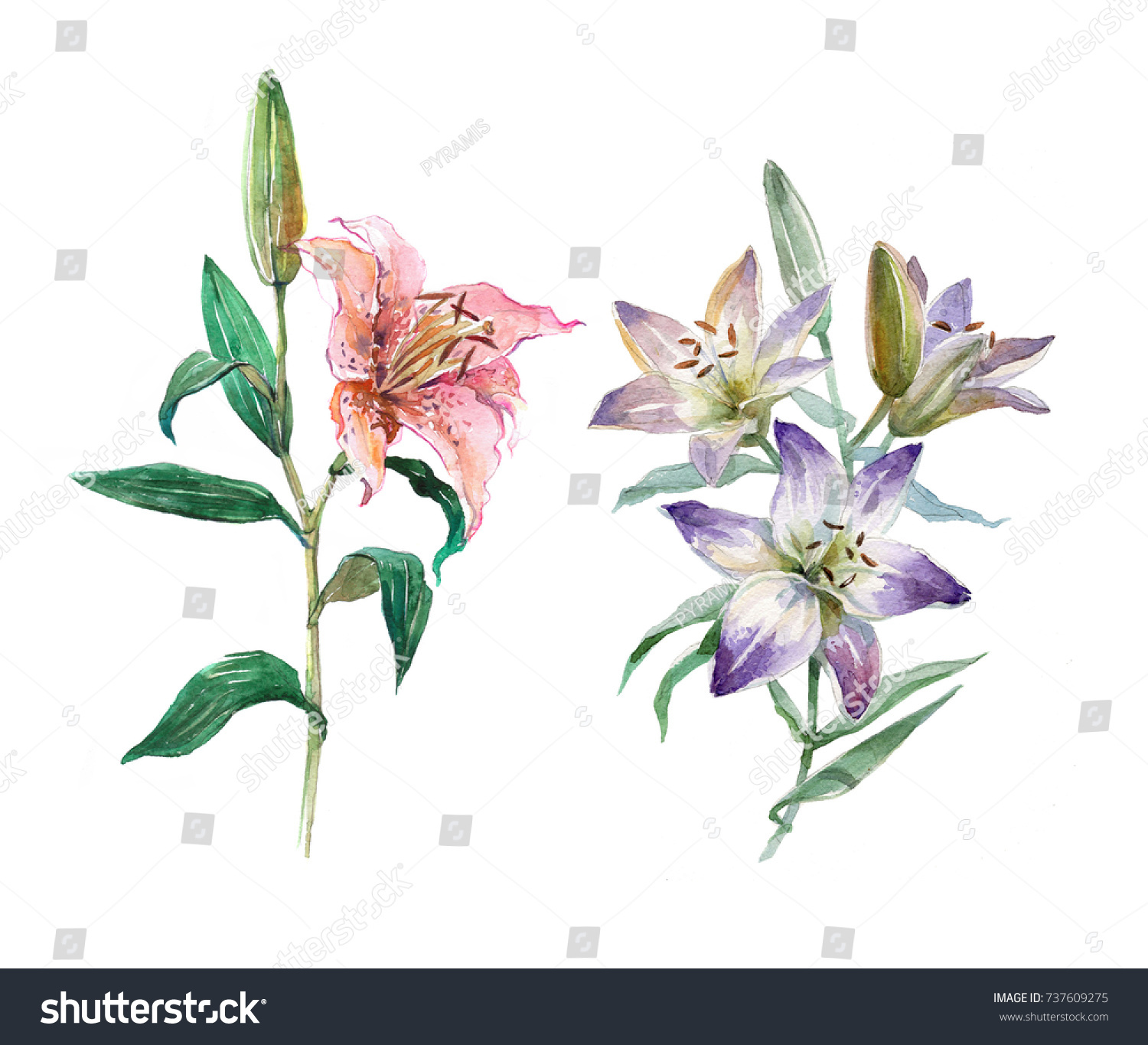 Set Of Pink And Blue Lilies With Green Leaves Lily Bud Lily Flower
