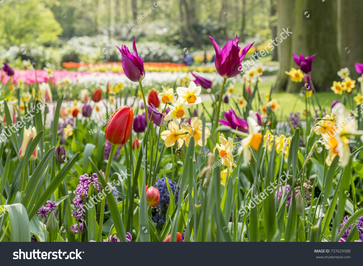 Colorful Spring Flower Bed Tulips Narcissus Stock Photo Edit Now