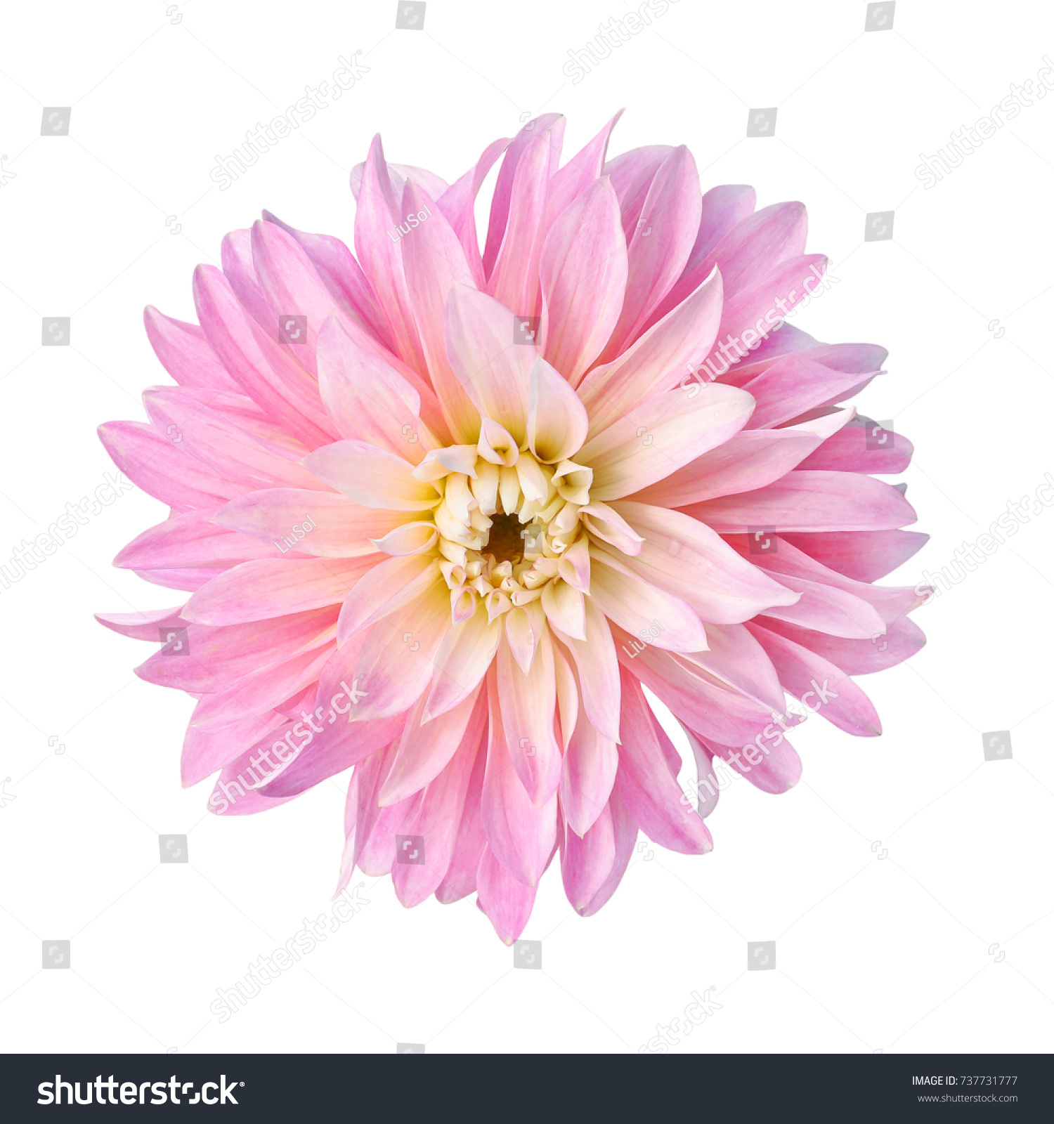 Single Pink Flower Dahlia Isolated White Stock Photo Edit Now