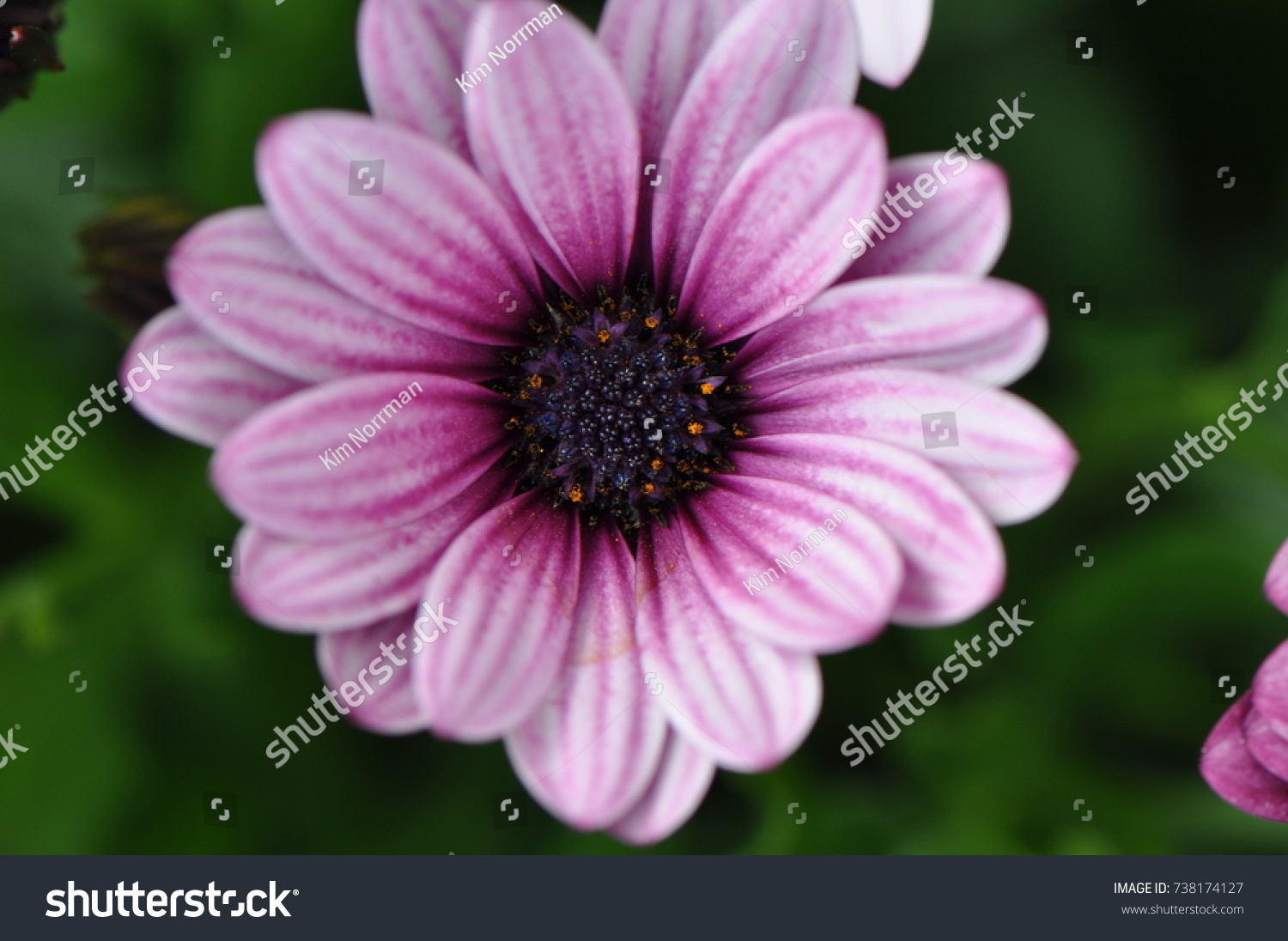 White and purple daisy ez canvas izmirmasajfo