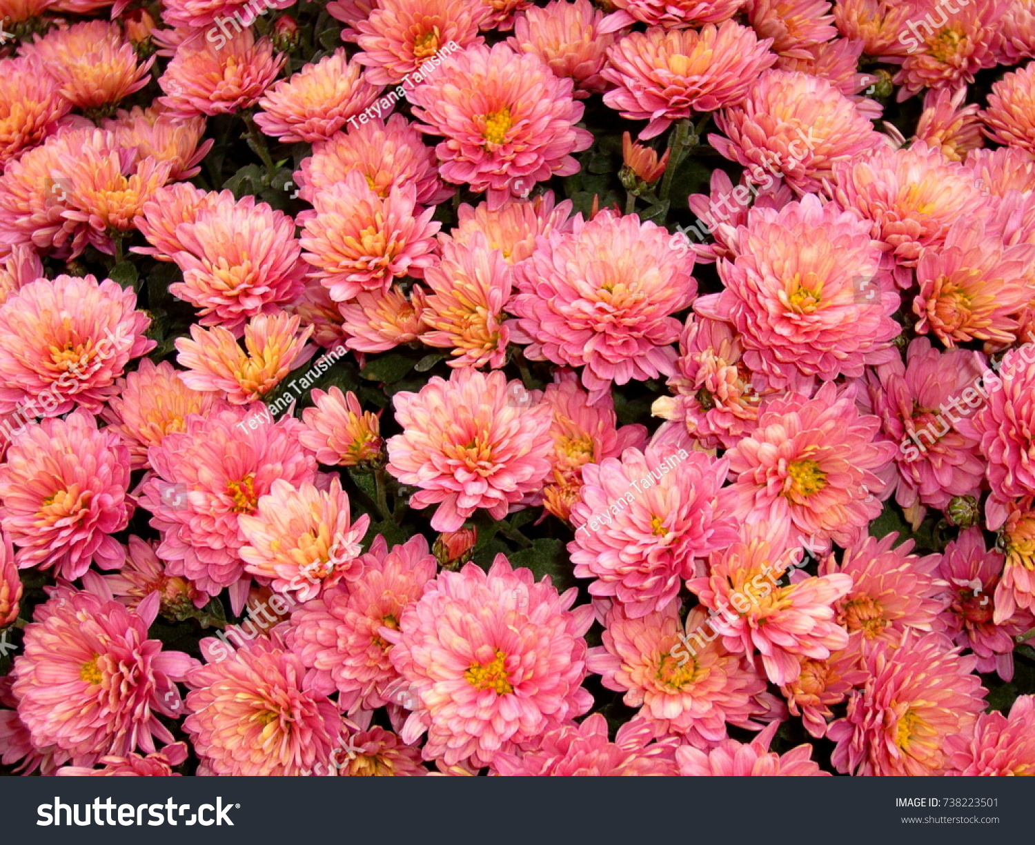 autumn garden flowers chrysanthemums bright flowers stock photo