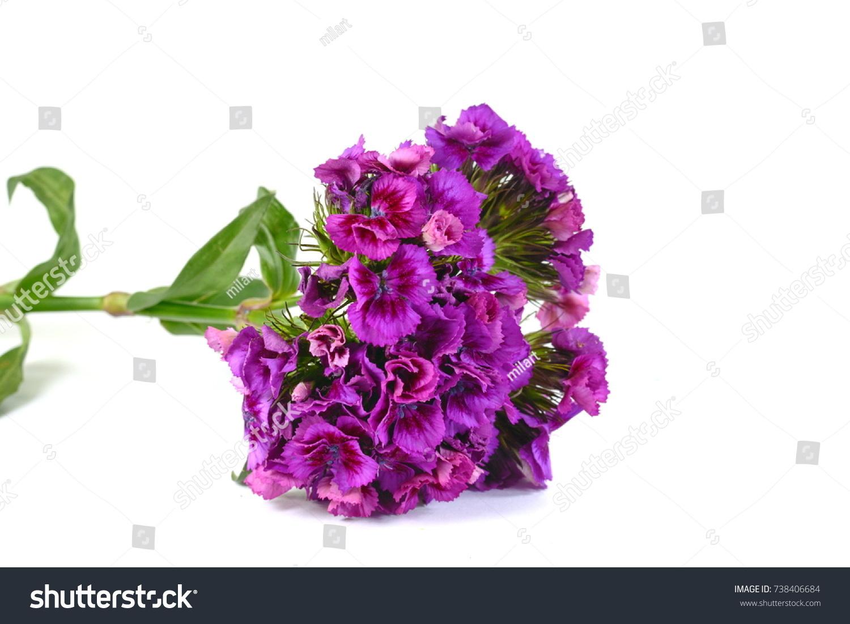 Dianthus Barbatus Sweet William Flower Isolated Stock Photo Royalty