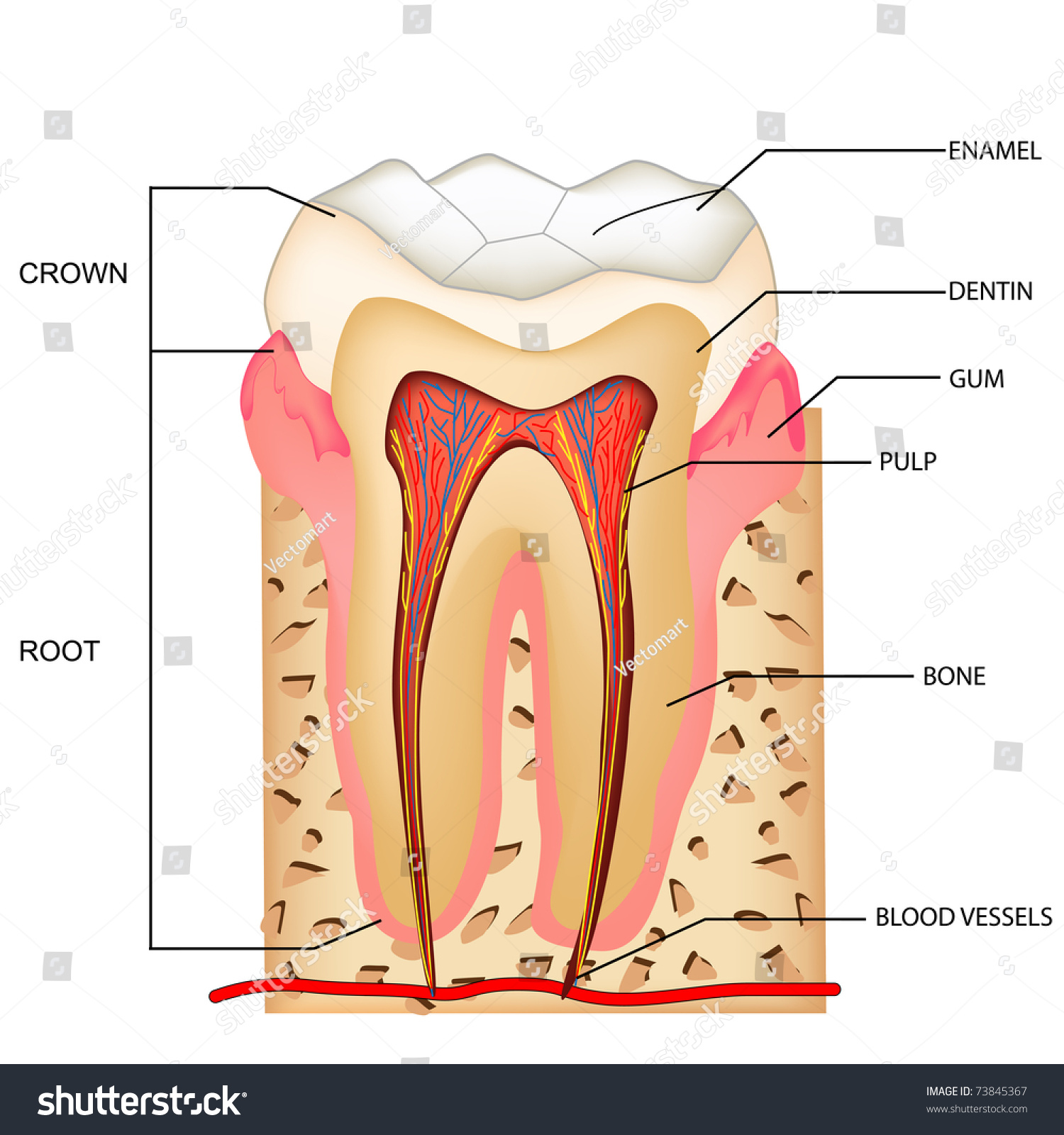Illustration Anatomy Teeth Labeling Stock Vector 2018 73845367