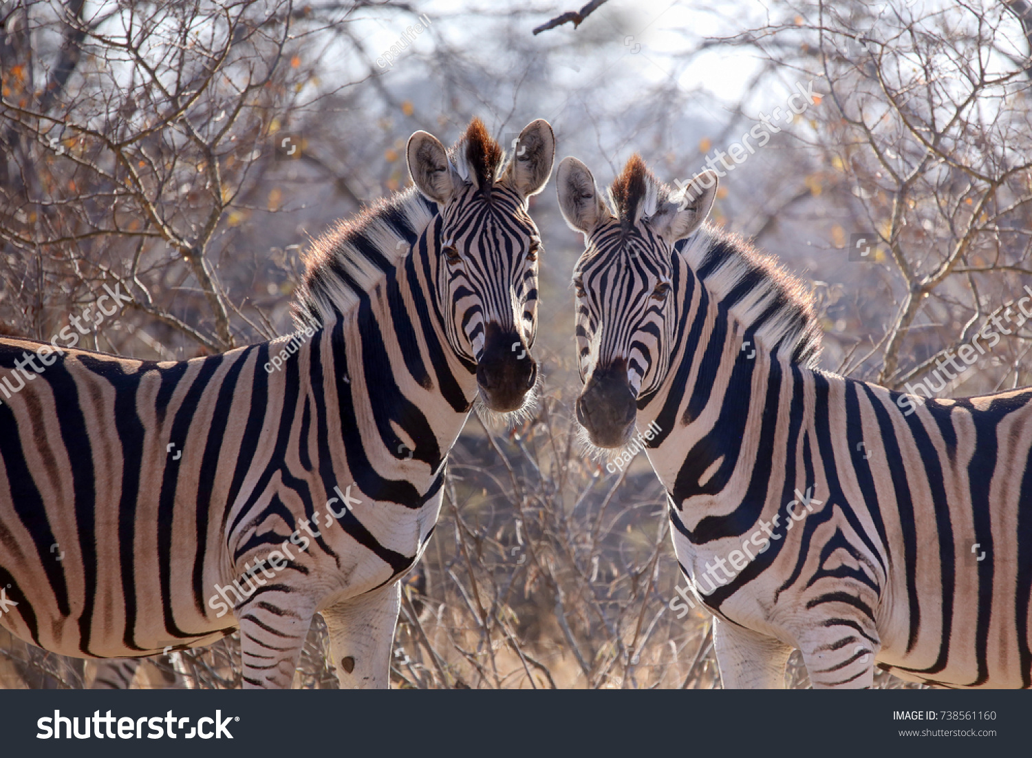 stock-photo-beautiful-back-lit-zebra-738