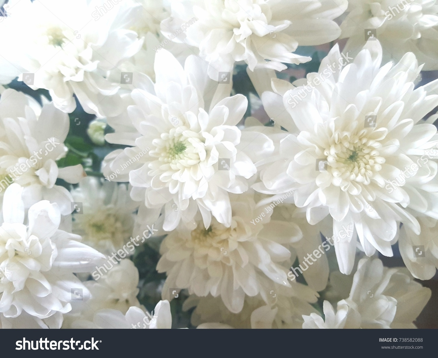 White Chrysanthemum In A Flower Shop A Bouquet Of Chrysanthemums