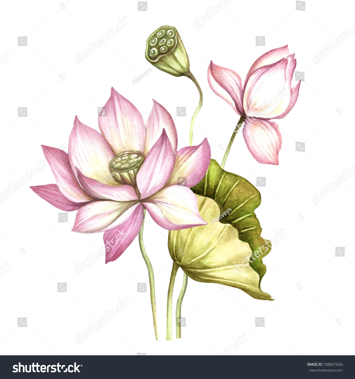 Composition Lotus Hand Draw Watercolor Illustration Stock