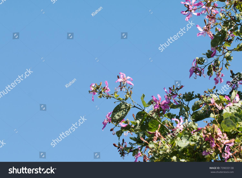 Bauhinia Purpurea Orchid Tree Flower On Stock Photo Edit Now