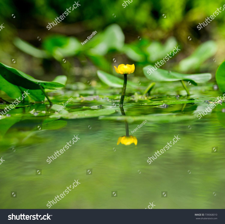 Cow lily flower pond stock photo royalty free 739068010 shutterstock izmirmasajfo