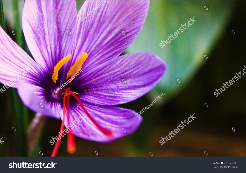 Saffron Flower Vivid Crimson Stigmas Styles Stock Photo Royalty
