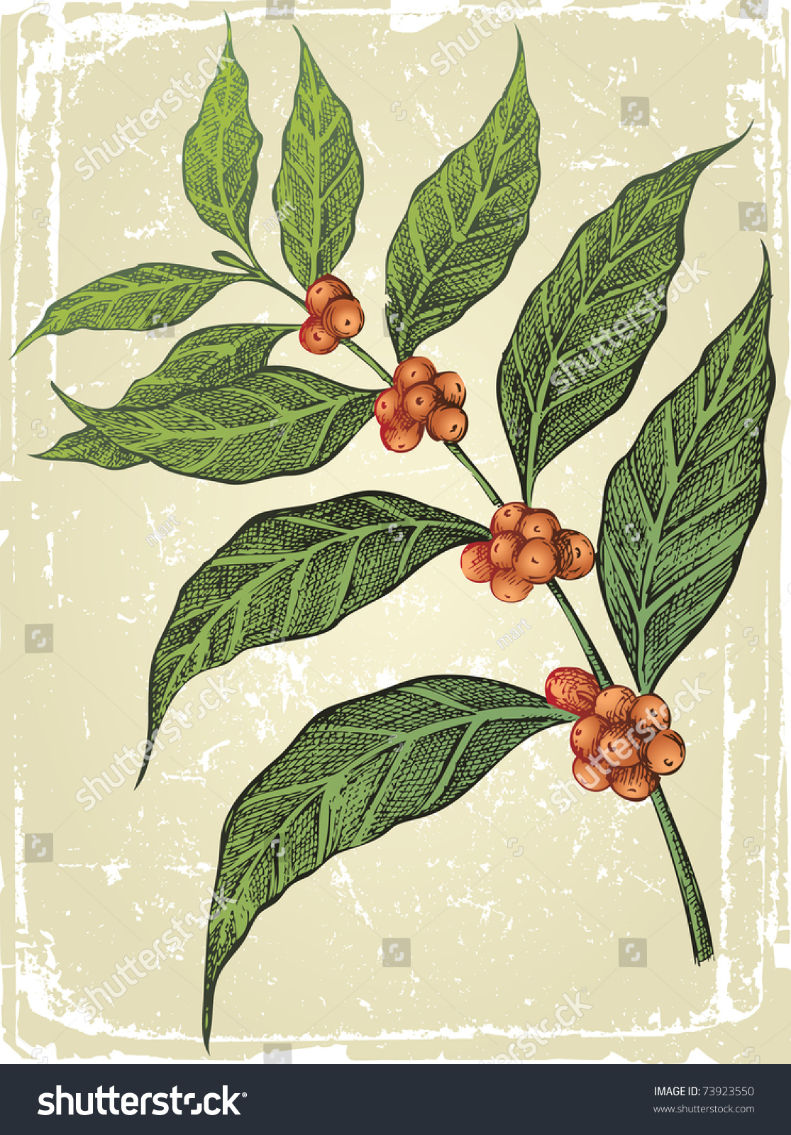 Old-Fashioned Hand Drawn Coffee Tree Branch Stock Vector Illustration ...