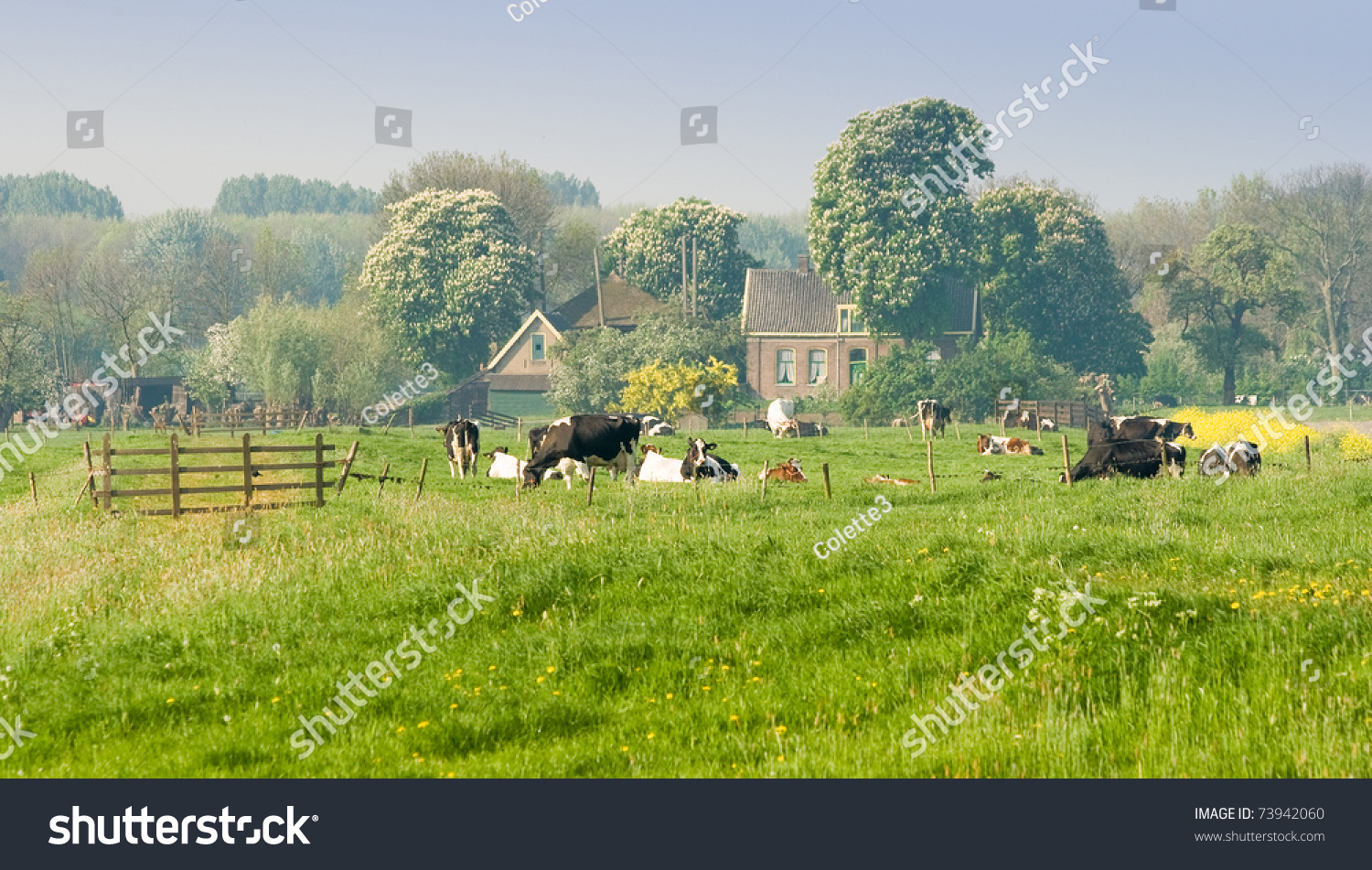 Dutch farm cows blooming trees on stock photo 73942060 Farm house netherlands