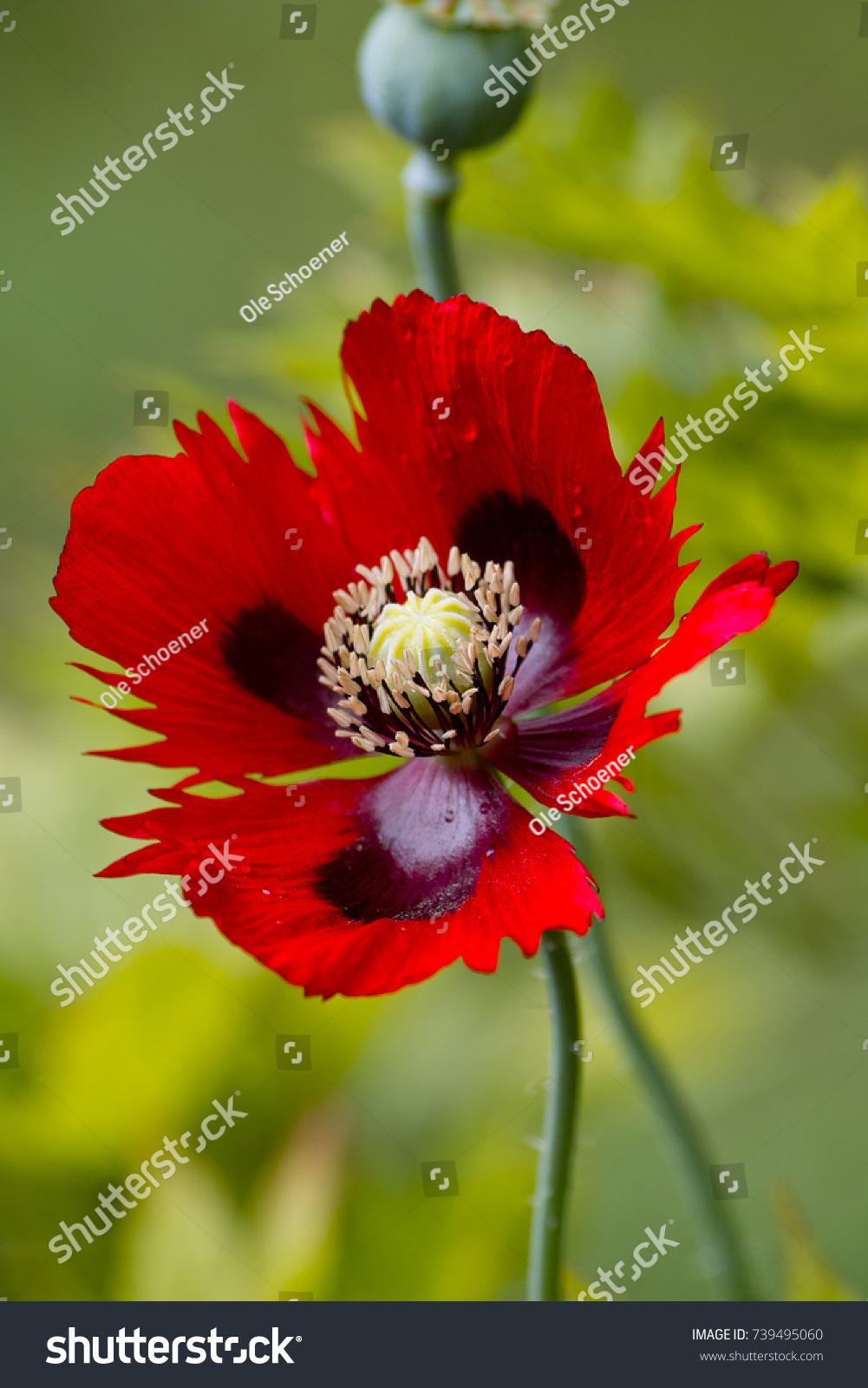 Red fringed flower opium poppy papaver stock photo royalty free red fringed flower opium poppy papaver stock photo royalty free 739495060 shutterstock mightylinksfo