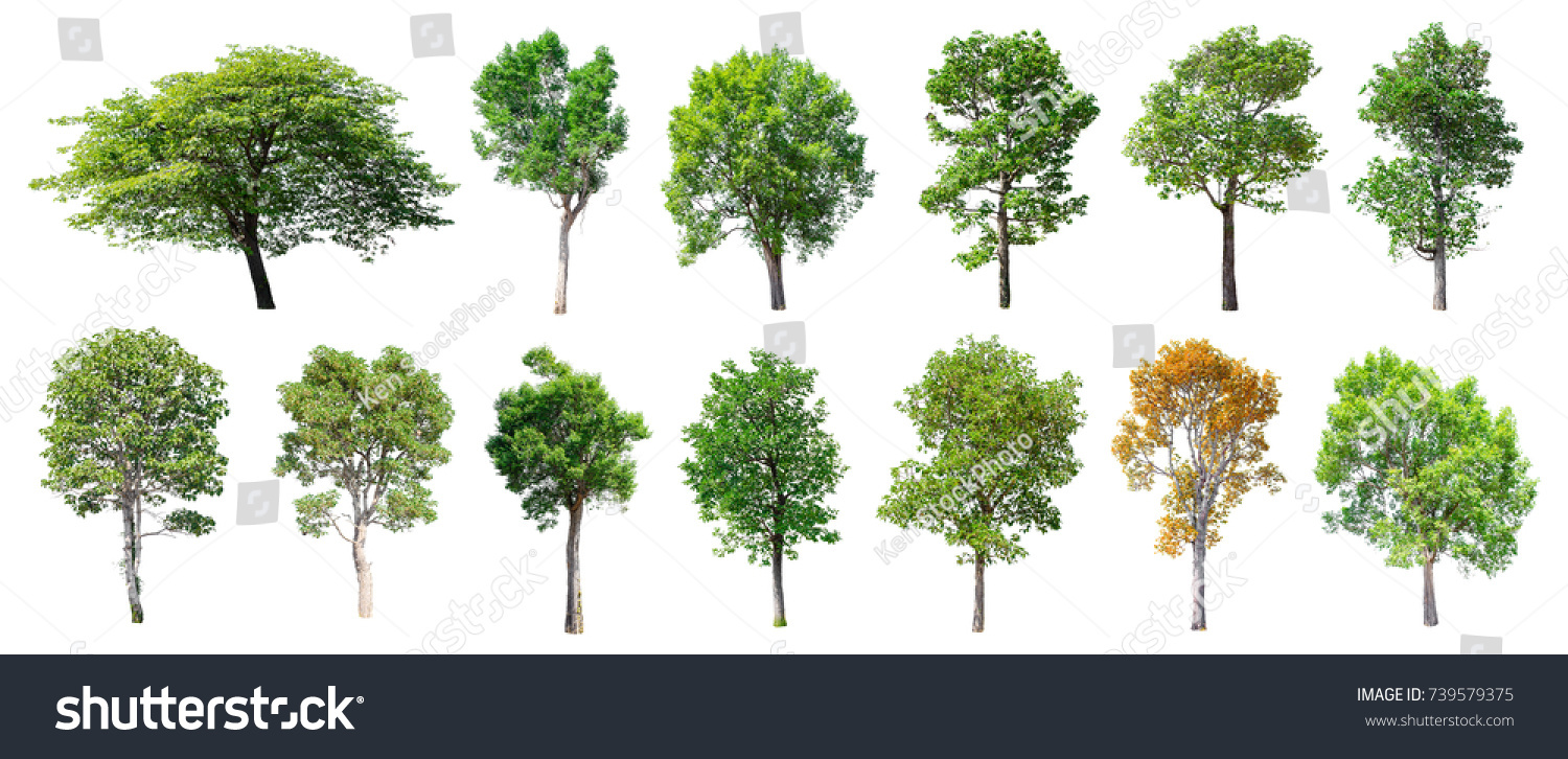 Collection of Isolated Trees on white background , A beautiful trees from Thailand , Suitable for use in architectural design , Decoration work , Used with natural articles both on print and website. #739579375 - 123PhotoFree.com
