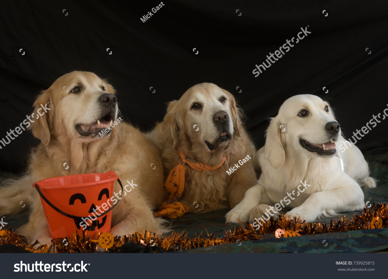 golden retrievers holiday spirit dressed halloween stock photo (edit