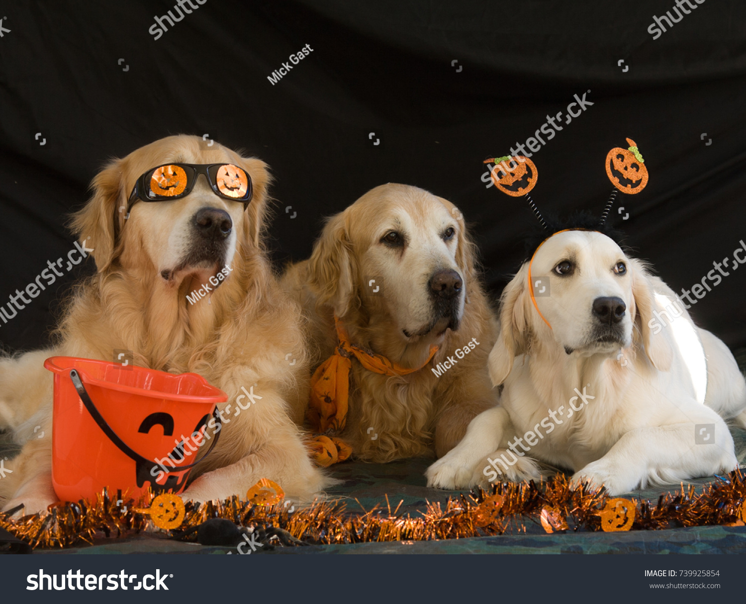 golden retrievers holiday spirit dressed halloween stock photo (edit