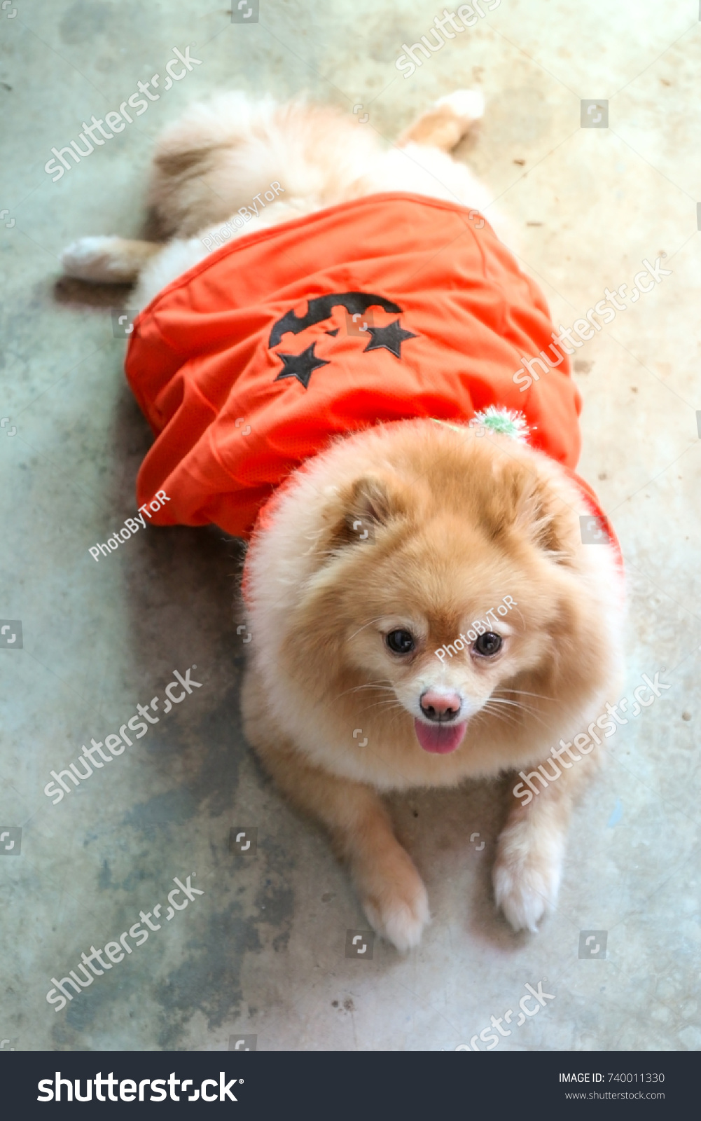 pomeranian dog wear orange halloween dress stock photo (edit now