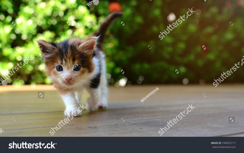 Calico Small Kitten Walking On Wooden Stock Photo (Edit Now