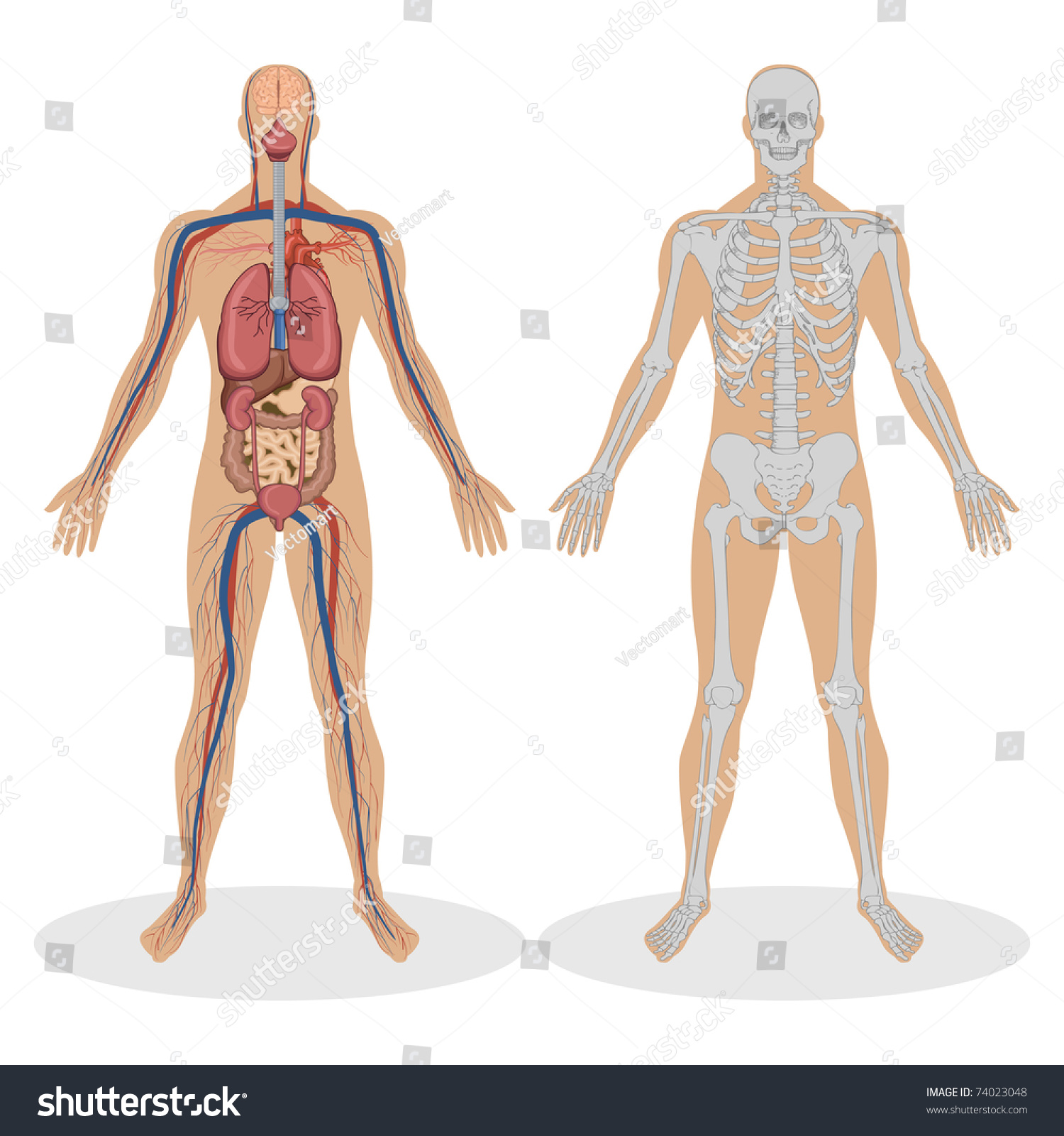 Illustration Human Anatomy Man On White Stock-Vektorgrafik ...