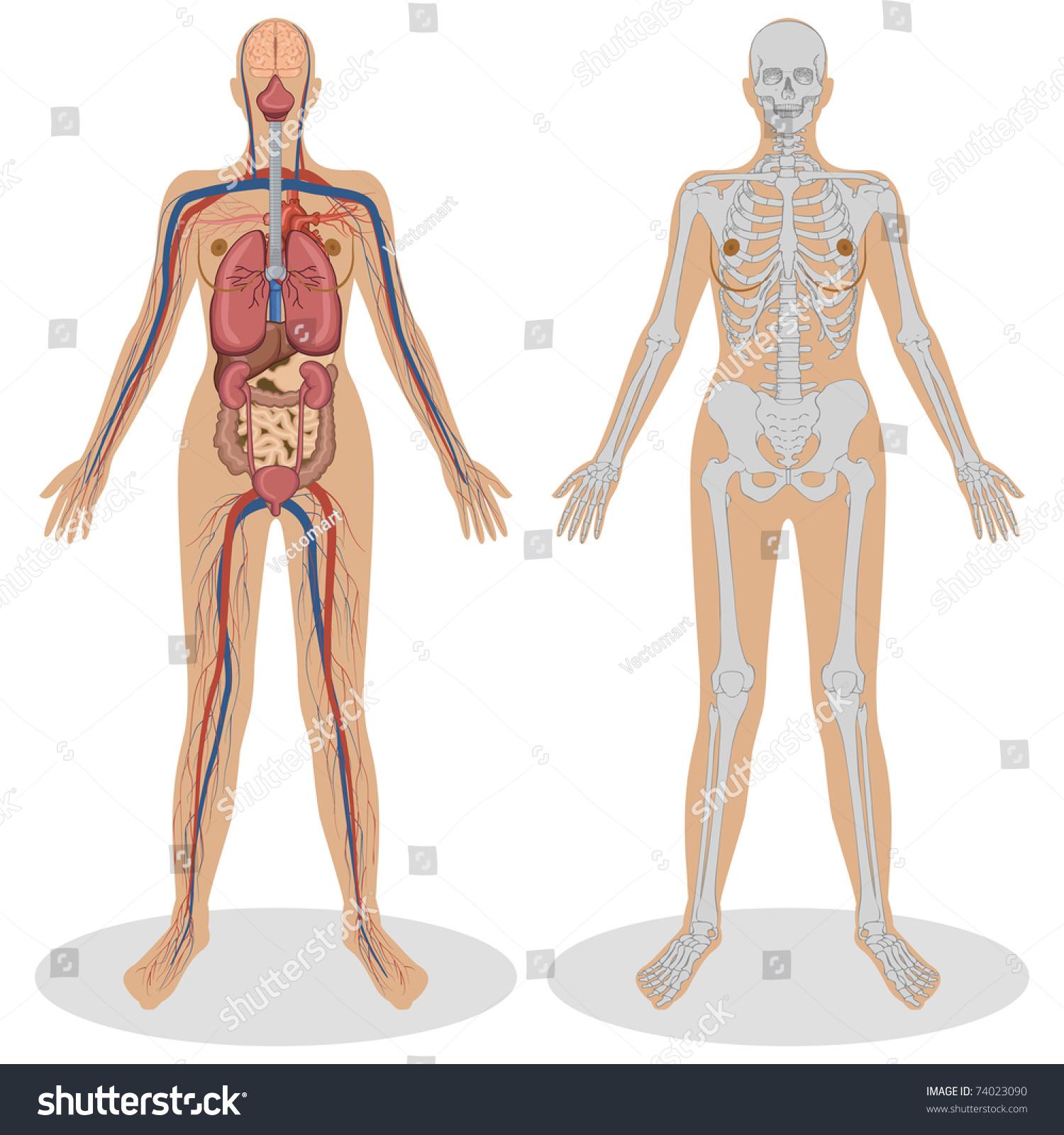 Illustration Human Anatomy Woman On White Stock Vector 74023090