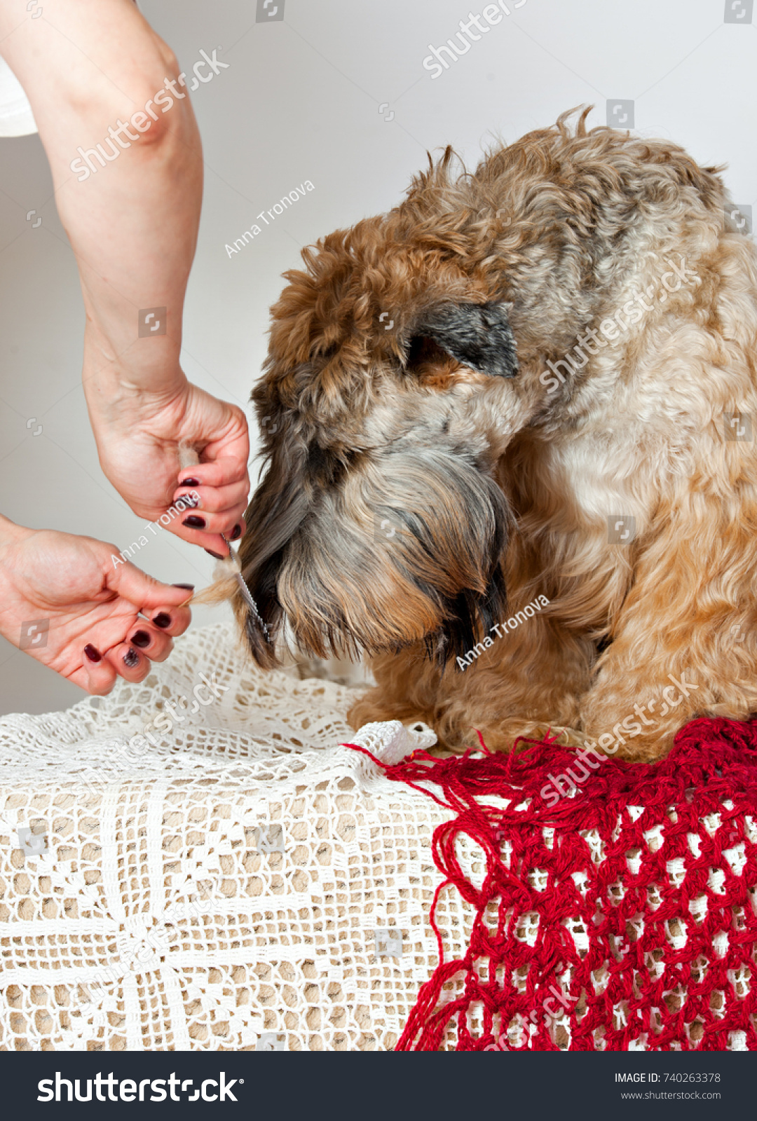 Groomer Combing Dogs Breed Irish Soft Stock Photo Edit Now