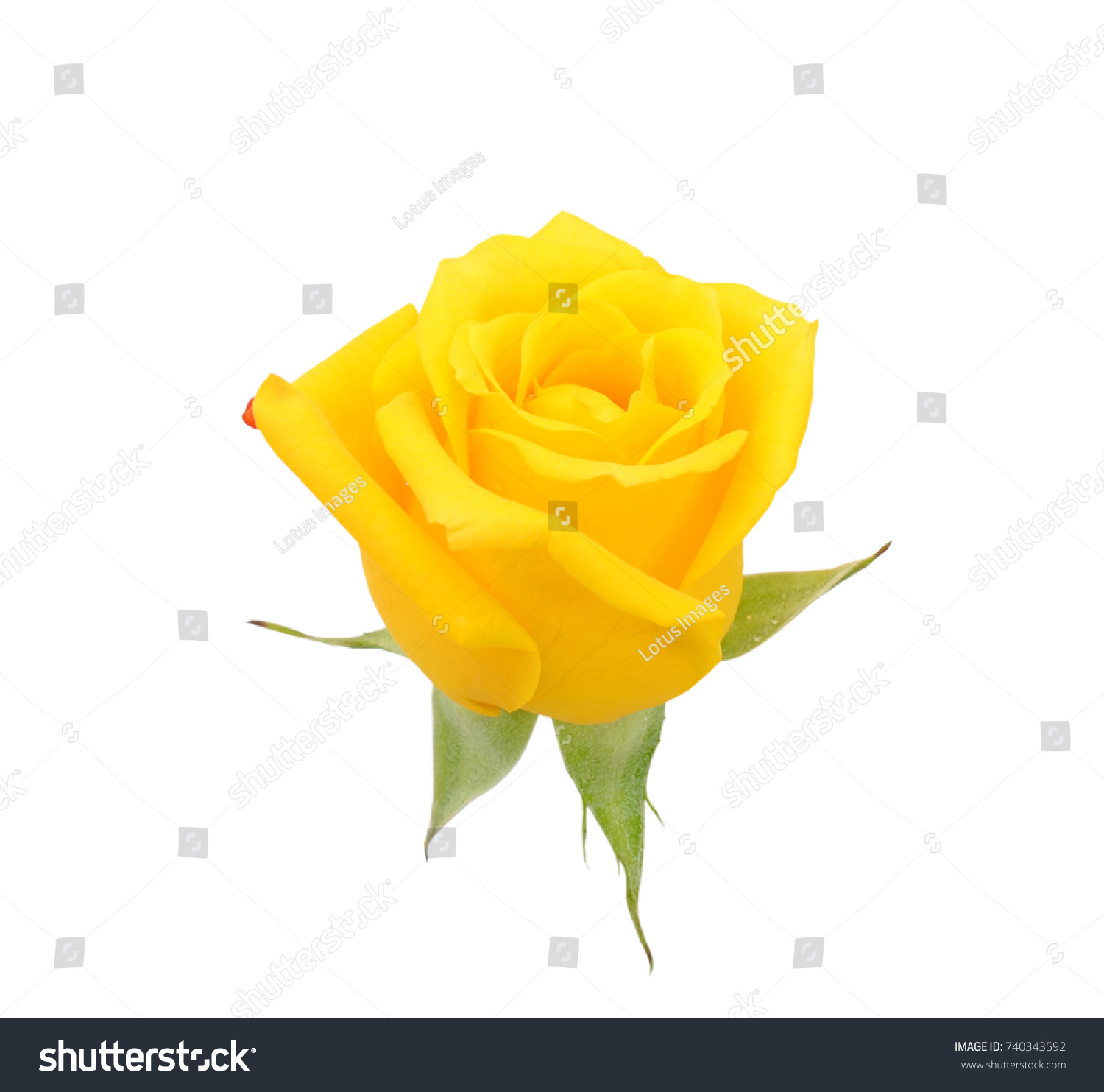 Beautiful Yellow Rose Flower Isolated On Stock Photo 740343592