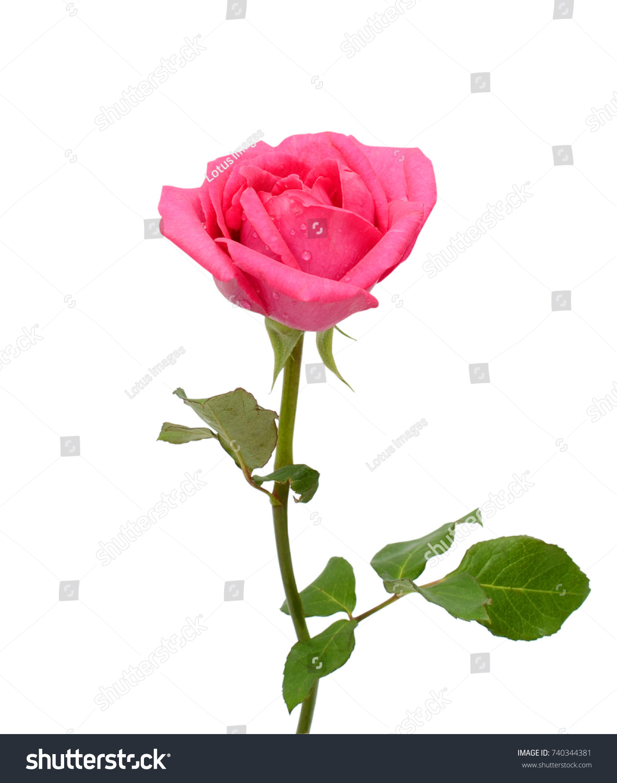 Beautiful Red Rose Flower Isolated On Stock Photo 740344381