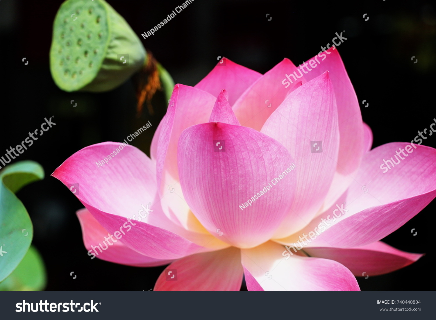 Thai Buddhism Uses Lotus Roots Flowers Stock Photo Edit Now