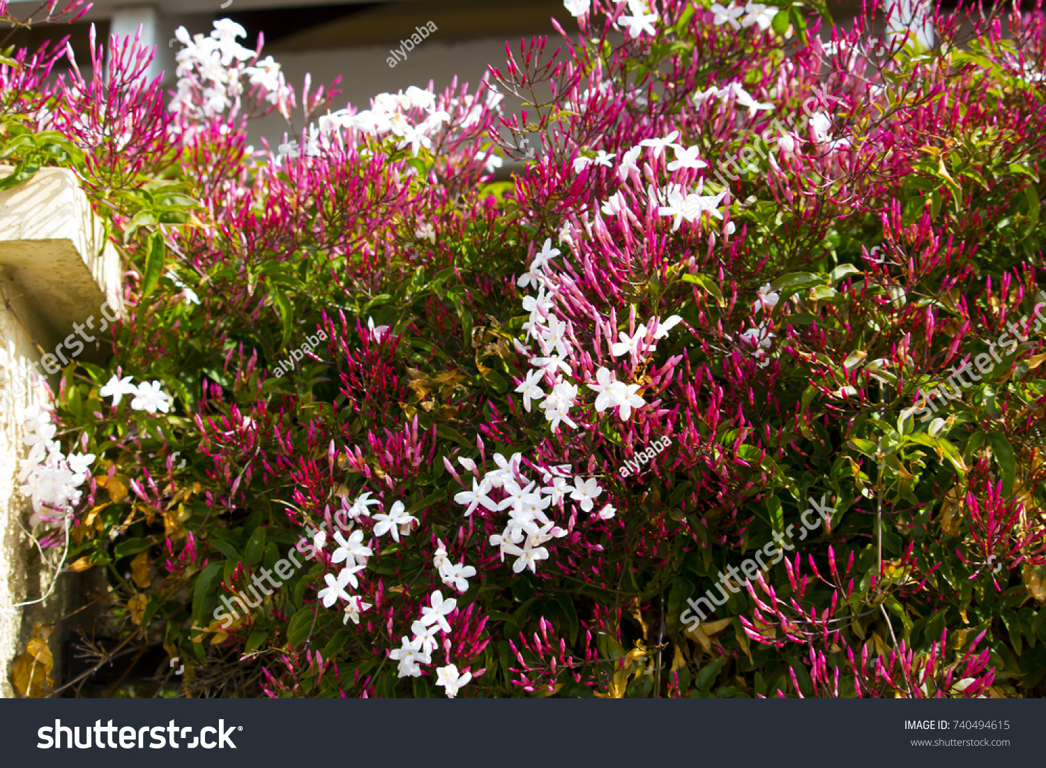 Beautiful Small White Pink Scented Blooms Stock Photo Royalty Free