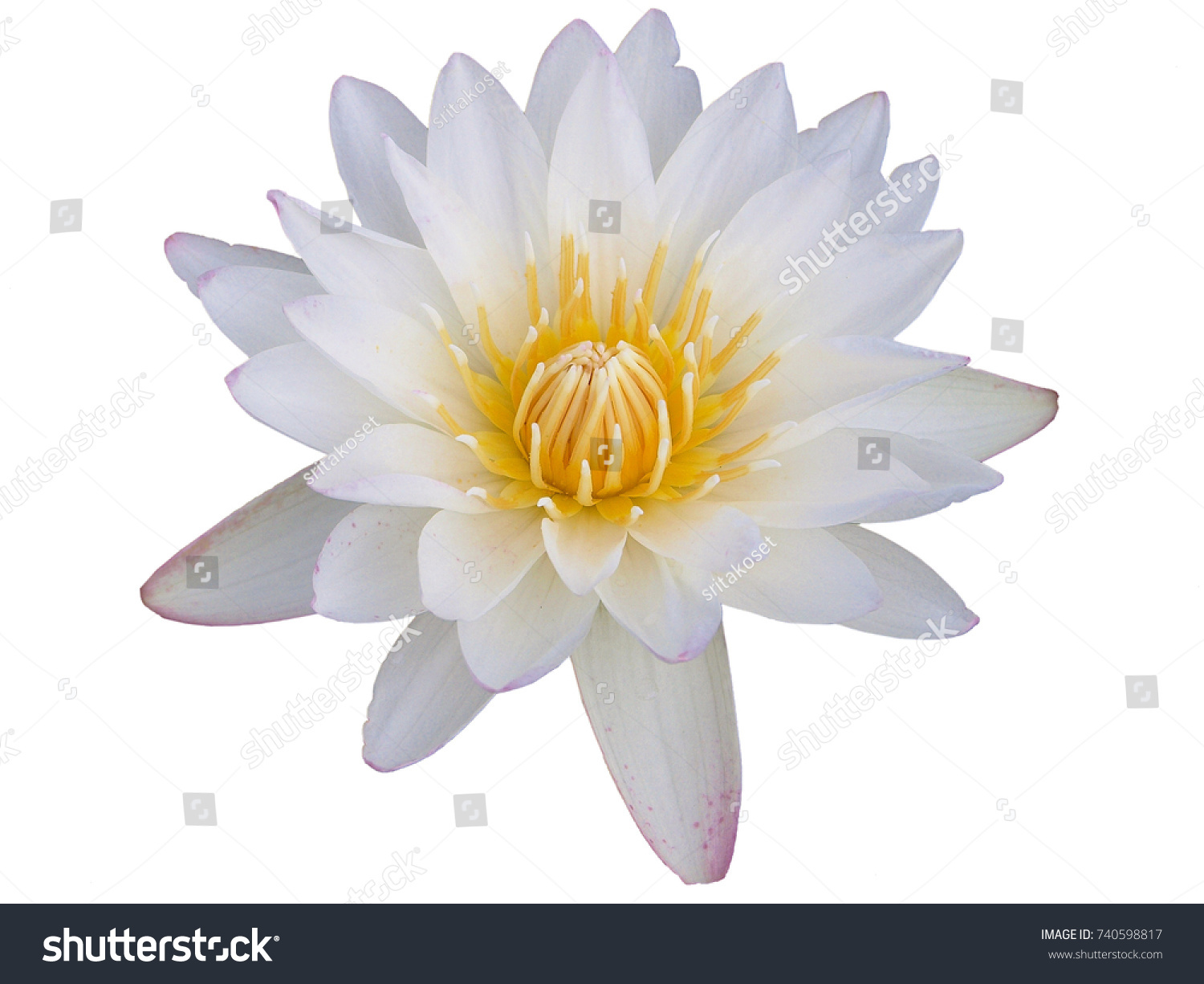 Sweet Lotus Flower On White Background Stock Photo Royalty Free
