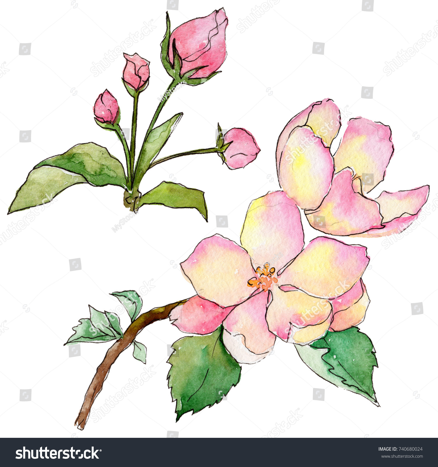 Wildflower Flowers Of Apple Flower In A Watercolor Style Isolated