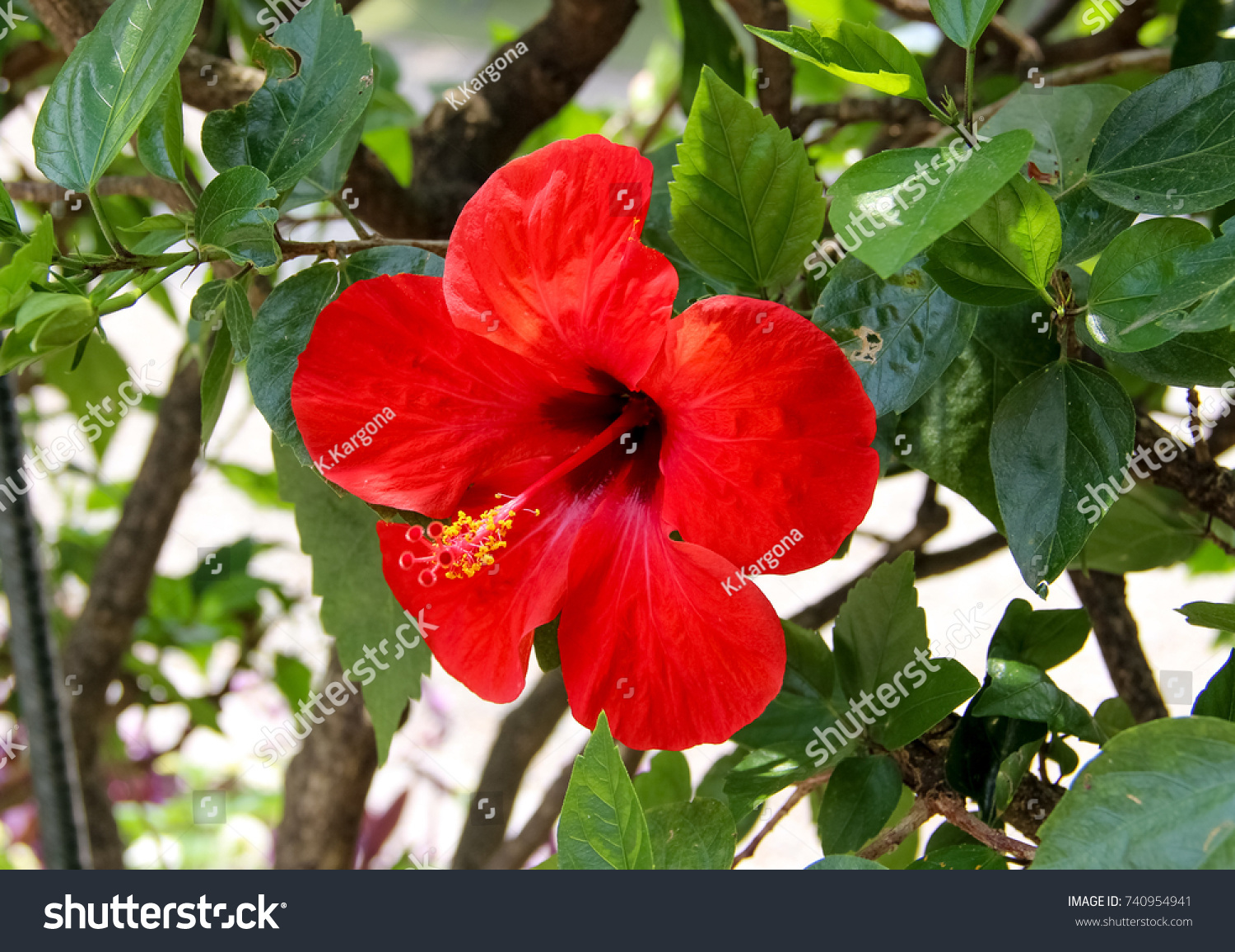 Closeup of a red chinese hibiscus flower ez canvas id 740954941 izmirmasajfo