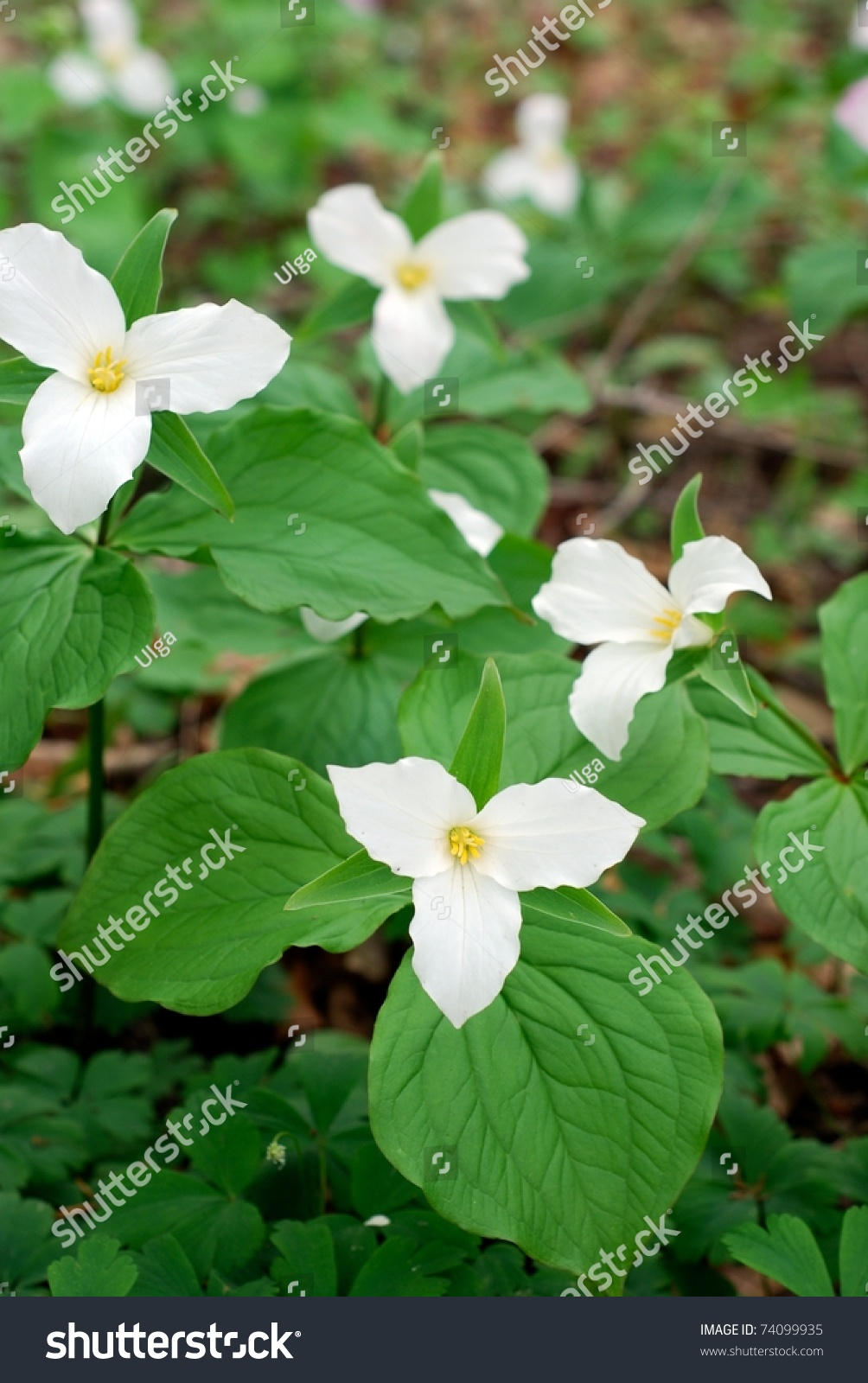 trillium flowers forest stock photo 74099935 shutterstock