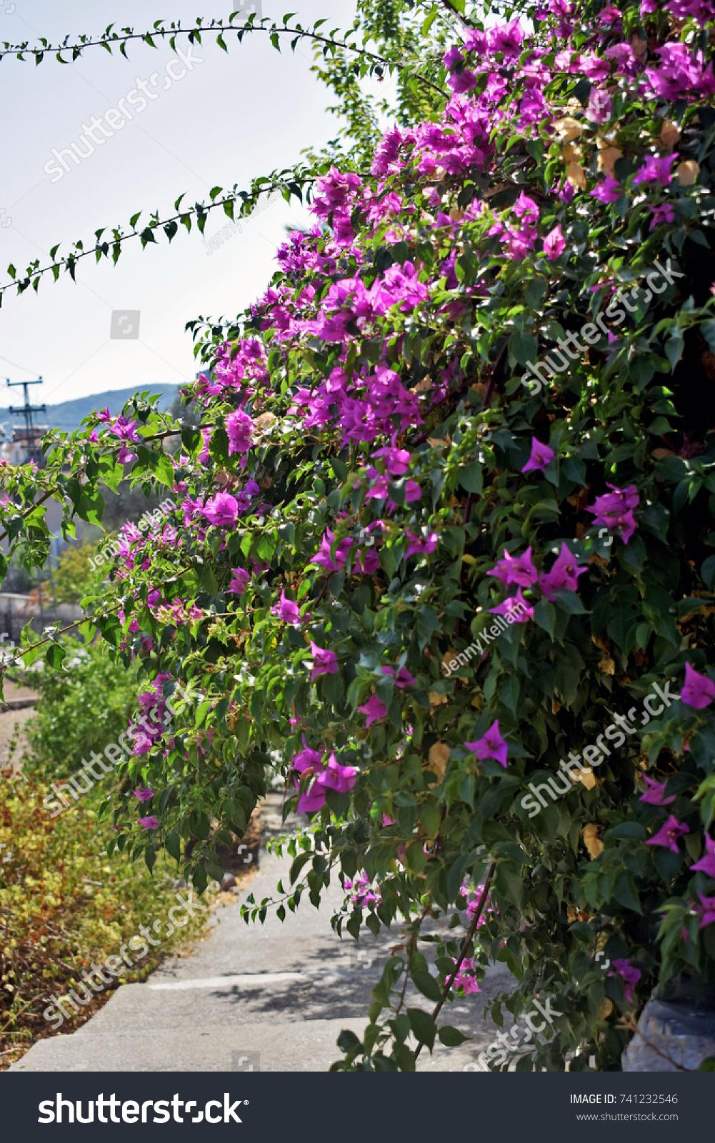 Large Pink Flowering Bush Shrubs Lining Stock Photo Edit Now