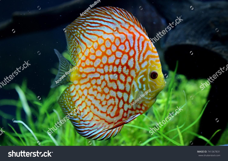 Colorful Discus Symphysodon Aequifasciatus Discus Some Stock Photo ...
