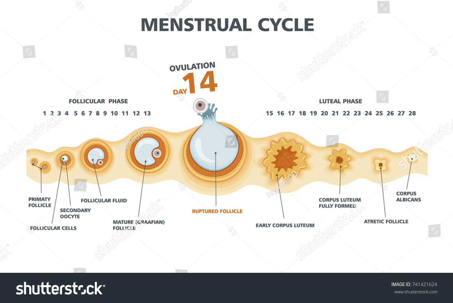 Ovulation Chart Female Menstrual Cycle Stock Vector -1055