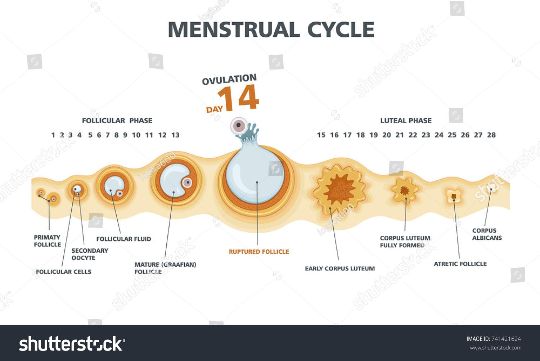 Ægløsning menstruation