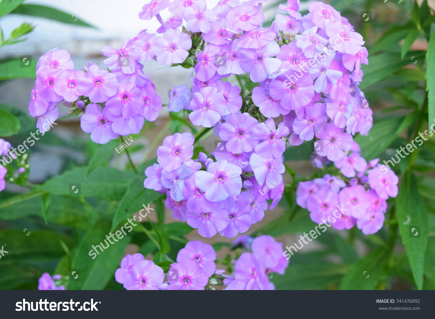 Clusters Of Small Purple Flowers Ez Canvas