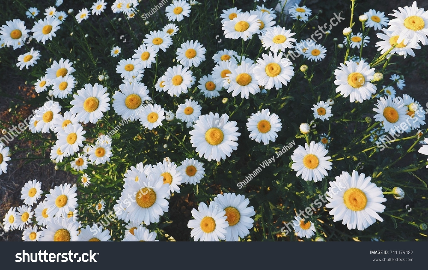 White Colour Background Flowers Stock Photo Royalty Free 741479482